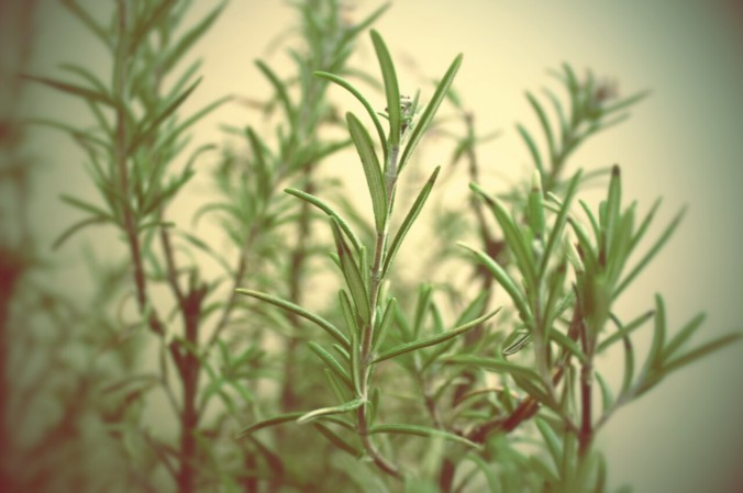 rosemary-up-close2.jpg.jpeg